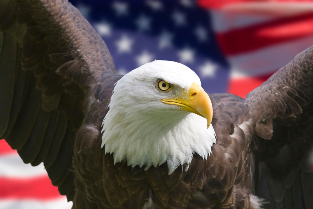 Bald eagle in the front of the American flag